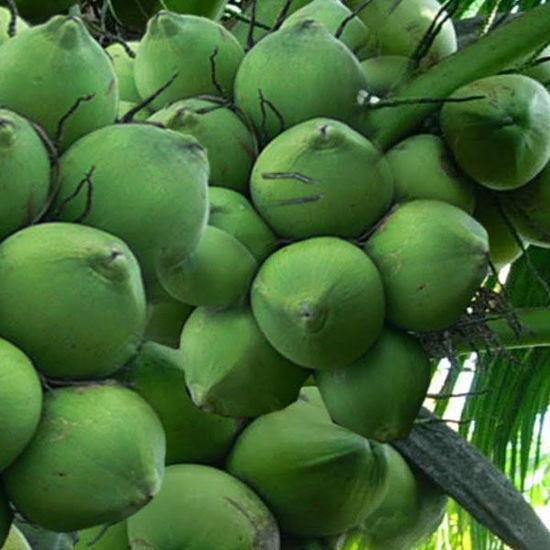 Ảnh của Dừa Xiêm (trái)
